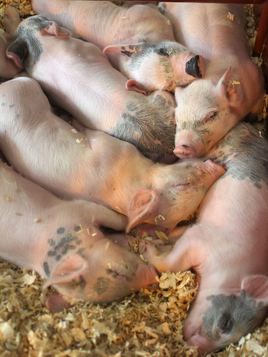 -INIBrd_Lead 1 piglets.jpg