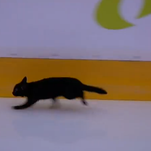 A black cat made a surprise appearance before Game 1 between the Predators and the Sharks