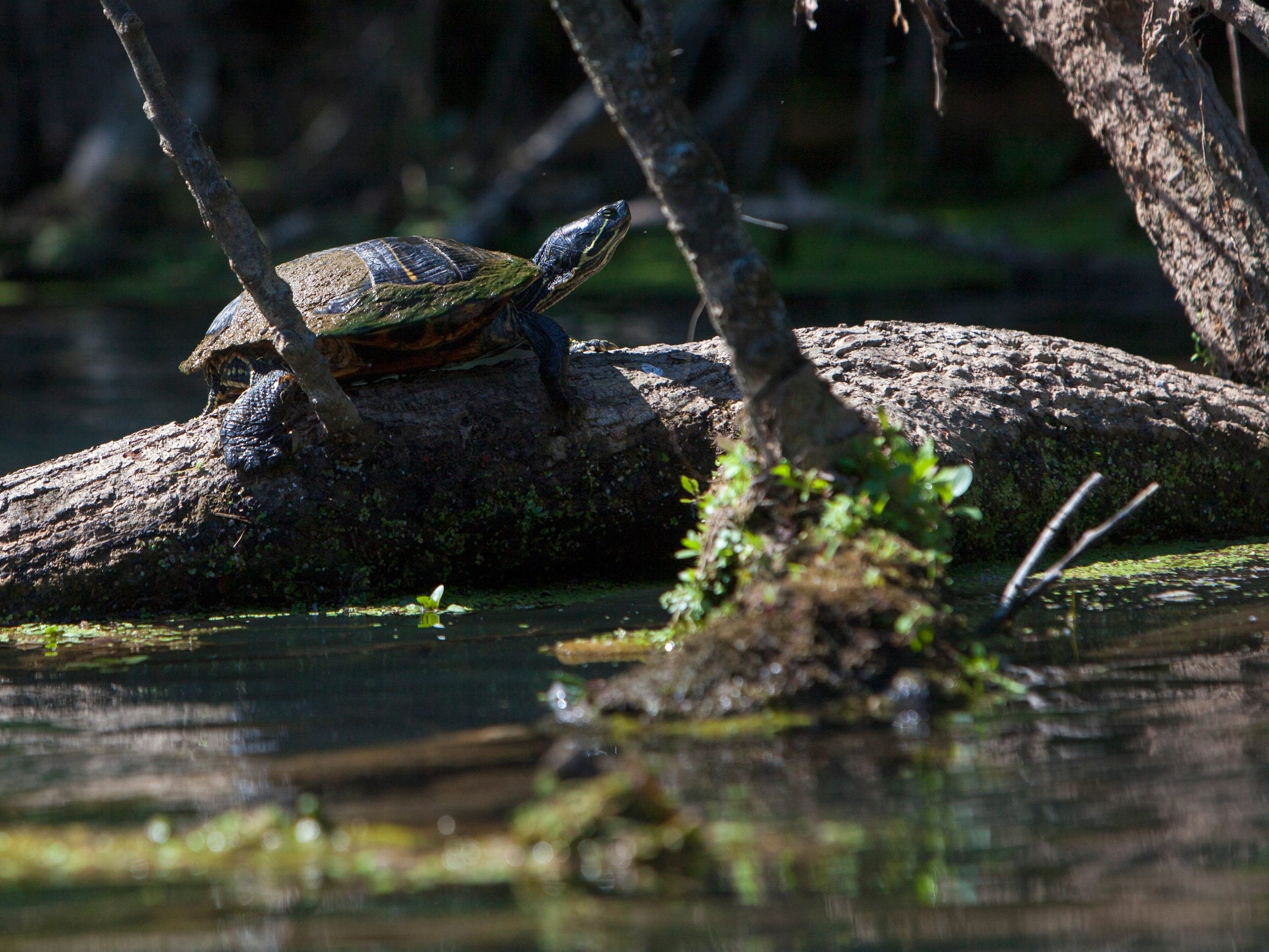 A red-eared slider sunbathes on a log on the Eleven