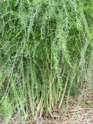 Some asparagus beds can produce for up to 25 years