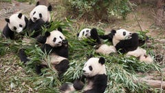 Adorable overload: 'Pandas' to return to an IMAX theater near you