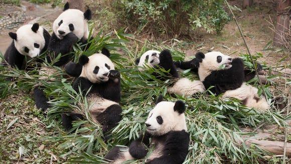 Panda cubs are followed from birth at the Chengdu Panda