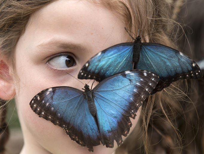 "Butterflies sit on the face of a child at the ""Sensational Butterflies"" exhibit at the Natural History Museum's outdoor butterfly house on March 31 in London. The temporary attraction runs from April 3 to Sept. 14."