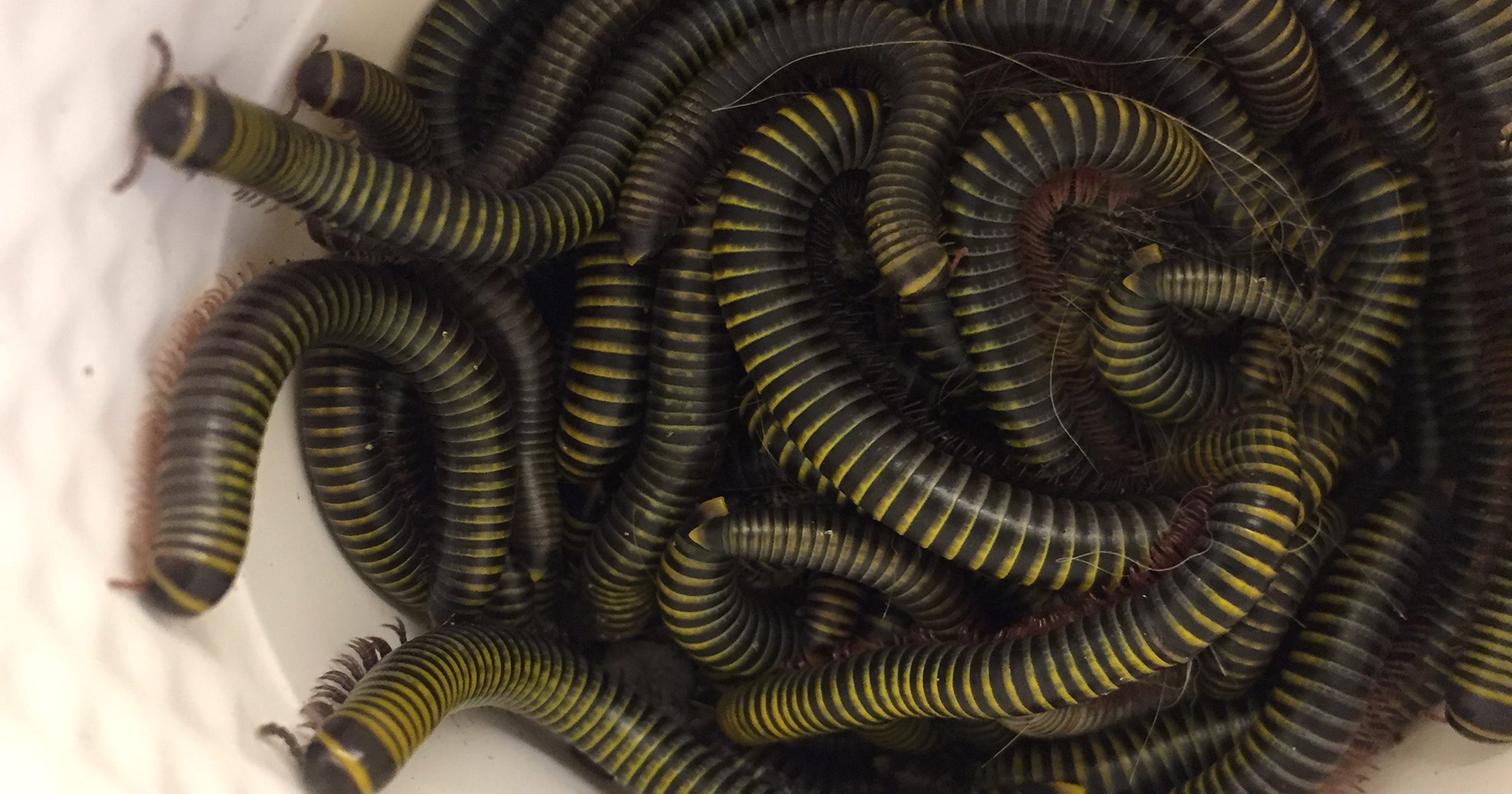 Collier homeowners deal with millipede invasion