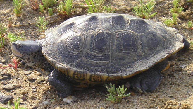 A diamondback terrapin in Eastham. Fencing has been put up along bayside roads the turtles are known to cross in search of nesting areas, but drivers are urged to keep an eye out for them.