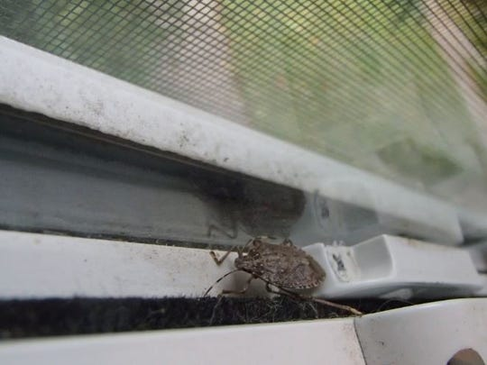 Weather-stripping and caulk can help prevent brown marmorated stink bugs from invading your home via doors and windows.