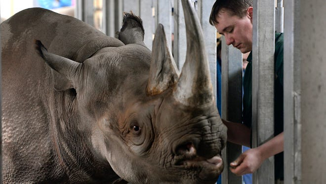 Zookeeper Pat Fountain checks on black rhino Doppsee in her warm and humid indoor area at Lansing's Potter Park Zoo Wednesday, Feb. 24, 2015.
