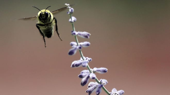 A bumblebee flies near a lavender bush in the International Peace Gardens in Salt Lake City on Friday, July 17, 2020. A federal review of existing data unveils an alarming trend for the Western bumblebee population, which has seen its numbers dwindle by as much as 93% in the last two decades. The Deseret News reports the find by the U.S. Geological Survey will help inform a species status assessment to begin this fall by the U.S. Fish and Wildlife Service, which may ultimately add the insect to its endangered species list.