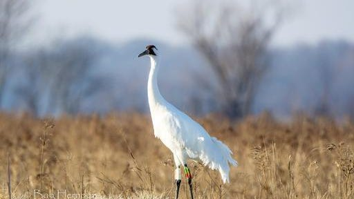 In this Feb. 27, 2016, photo, a federally endangered whooping crane known as 4-11 stands in southwestern Indiana's Goose Pond Fish and Wildlife Area in Linton, Ind. Wildlife officials say the recent fatal shooting of this endangered whooping crane in rural Indiana is a sad reminder of the threat gunfire poses to North America's tallest birds as the rare species recovers from a brush with extinction.