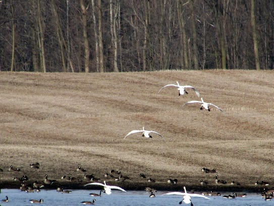 The Canada geese don't come alone, along with them