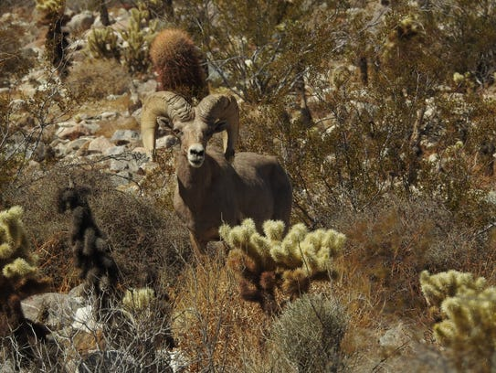 Penninsular bighorn sheep range from Baja California