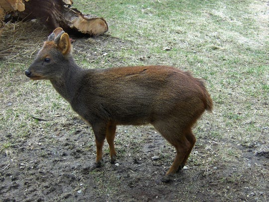 Another Pudu at the Queens Zoo.