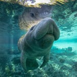 3 To Do: Seafood, manatees and coffee