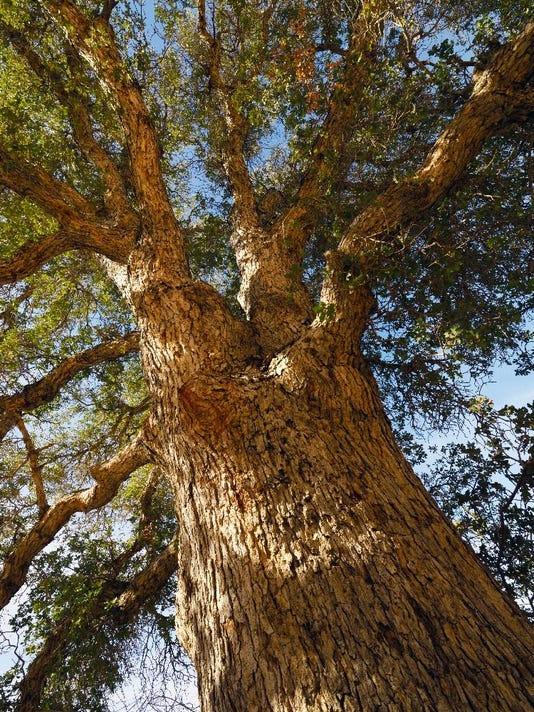 Old Oak in JTNP
