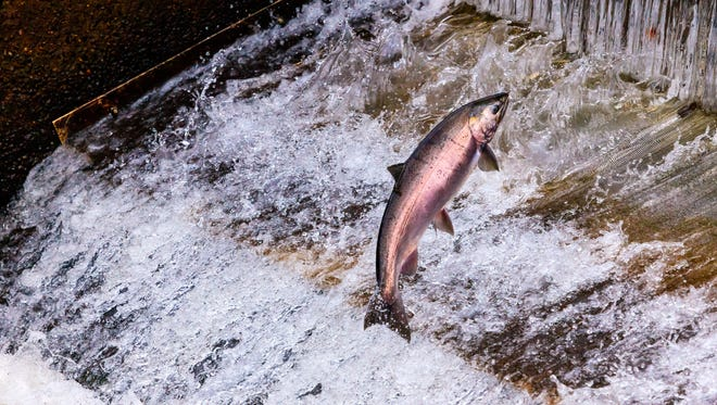 The Oregon Department of Fish and Wildlife said about 1.65 million coho salmon and 132,000 spring Chinook salmon would be evacuated Friday and Saturday.