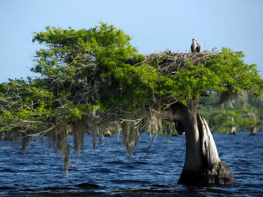 An osprey watches the activity on Blue Cypress Lake from its nest April 14, 2015 in western Indian River County. The lake is popular with photographers and bird watchers because of the variety of wildlife on the lake.