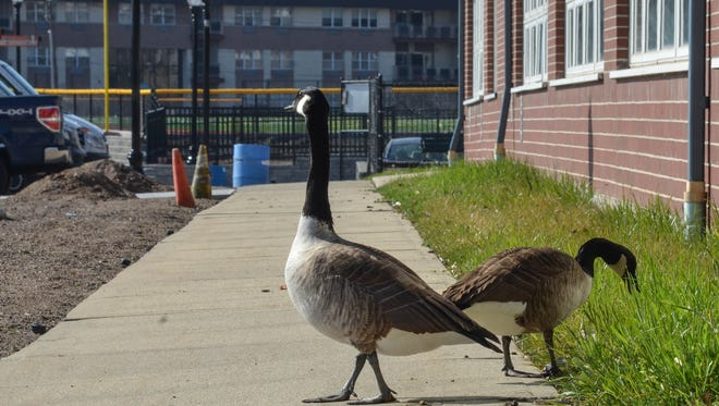 The town is turning to non-lethal methods of controlling those ubiquitous Canada geese, such as these waterfowl foraging at Edgewater Community Center ...