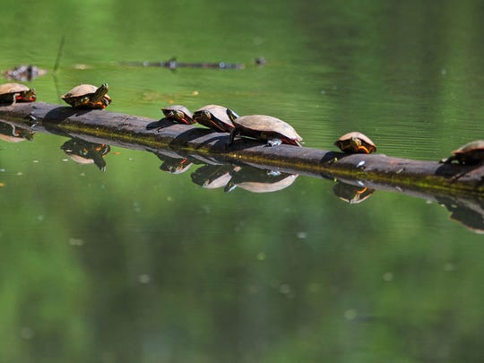 A bale of western painted turtles are reflected in a slough as they bask in the sun on top of a log at Minto-Brown Island Park in Salem.
