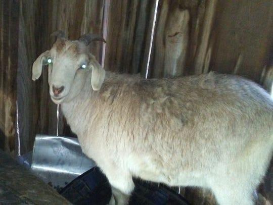 Dolores Halbin's pet goat Frodo before the Feb. 15