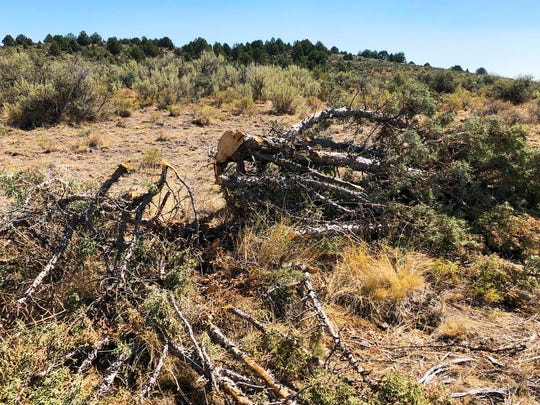 This juniper tree was cut down as part of a giant project to remove junipers encroaching on sagebrush habitat needed by imperiled sage grouse in southwestern Idaho.