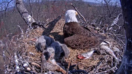 """The Pa. Game Commission's """"eagle cam"""" is back for another nesting season."""