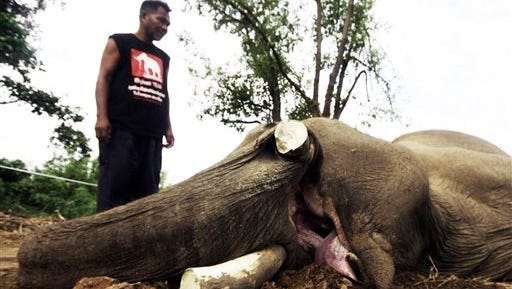 """In this photo released by the Ayutthaya Elephant Palace and Royal Kraal, an unidentified mahout or elephant keeper, left, looks at Klao, a 50-year-old male elephant lies dead with its tusks were taken off on the ground in Ayutthaya province, central Thailand. The manager of a conservation center in Thailand says poachers have killed and taken the tusks off the elephant who performed in royal processions and was featured in Oliver Stone's 2004 movie """"Alexander."""""""