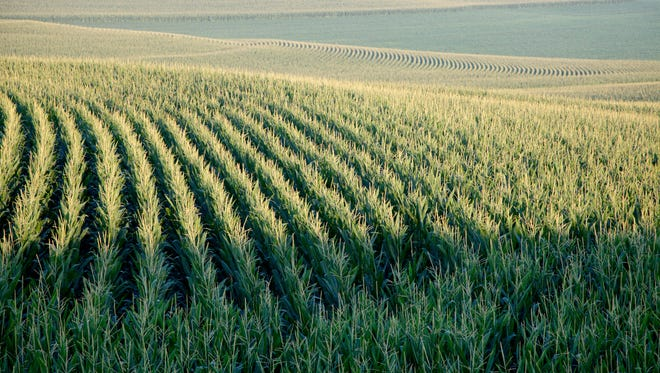 A cornfield near Springfield, Neb.