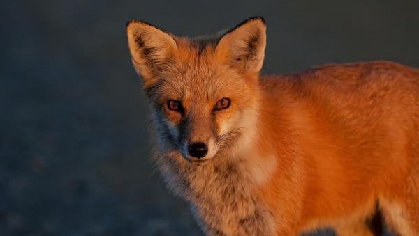 A fox is shown in this photo. This is not the fox seen in the Salisbury area.
