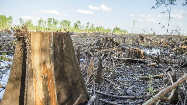 This photo shows the Urahaw Swamp in northeastern North Carolina that was logged to make wood pellets. The rapidly growing wood pellet industry is logging bottomland hardwood forests in the Southeastern United States to produce pellets to ship overseas to Europe.