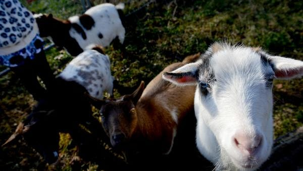 Gaia McCurdy, 9, stands among four of the family's five pygmy goats in November 2015 in Okemos. The Battle Creek City Commission discussed proposed ordinance changes that would allow urban agriculture, like goats, in residentially zoned areas.