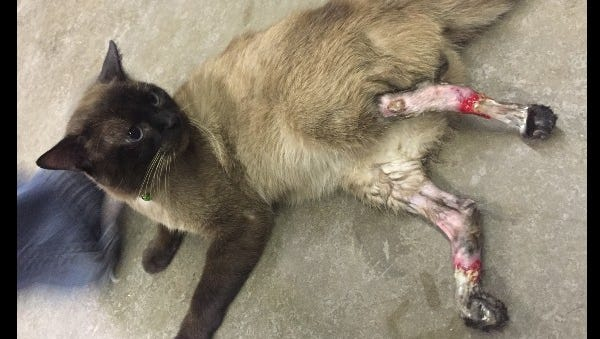 Aston was tortured and starved for about a month, according to his owners. The cat's back legs will have to be amputated.