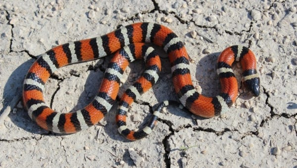 Like other members of the kingsnake and milksnake genus, the New Mexico milksnake is covered by smooth, glossy scales that give the appearance of the animal being waxed and shiny.