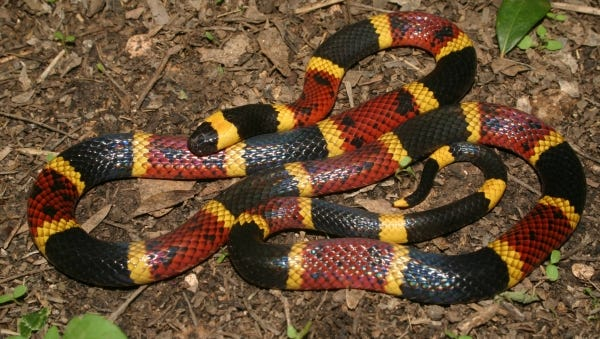 The vast majority of Texas coral snakes that are encountered are generally around 2 feet in length and have a girth roughly the size of a No. 2 pencil.