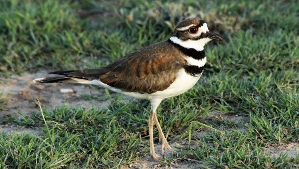 The Killdeer is known for its distinctive call, and for pretending to be injured to lure predators away from their nests.