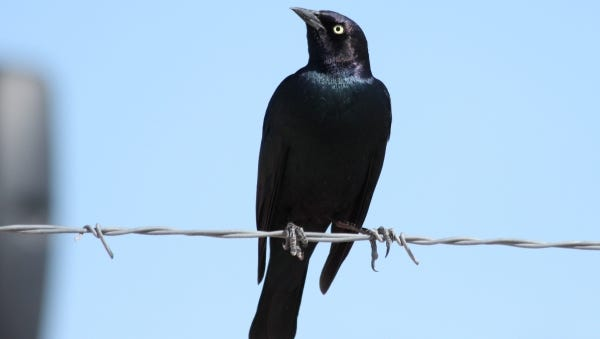 A Brewer's Blackbird perches on a barbed-wire fence. These birds are a highly gregarious species common to Texas in winter months.