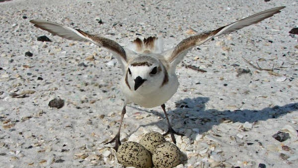 Snowy plover nest at Gulf Islands National Seashore