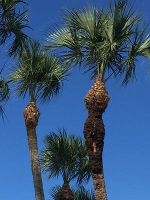 This is a palm with a bad pruning job.