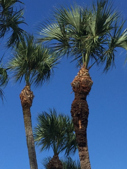 636586172169098544-sabal-palms-horrible-pruning-job.jpg