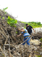 Department of Public Works employees Justin Santos, left, and Franklin Calvo Jr., search for signs of coconut rhinoceros beetle infestation in agricultural green waste piled at the site of the old Guam Memorial Hospital in Tamuning on Friday, Oct. 2, 2015. The green waste being stored at the site is a result of material collected after the passage of Typhoon Dolphin in May, said Glenn Leon Guerrero, DPW director.