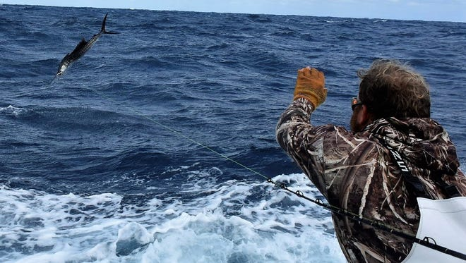 Kevin Britton, mate aboard the boat Unbelievable, prepares to release a sailfish during the Stuart Sailfish Club's Light Tackle Sailfish Tournament last month. Tournament teams will gather Tuesday for the kickoff party of the Pelican Yacht Club Invitational in Fort Pierce.