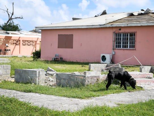 A dog walks where a school stood before Hurricane Irma
