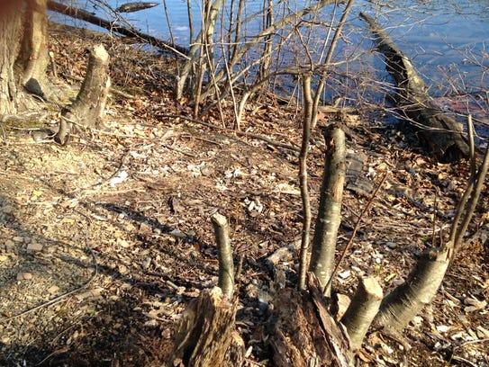 Beaver cut several trees to make a lodge at Cowans