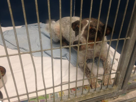 Samantha rests in a kennel at Robinson's Rescue Wednesday.