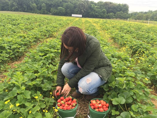 "Katie Black picks a ripe strawberry from the ""U-pick"""