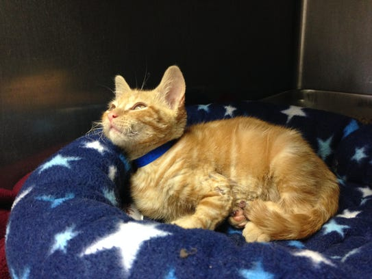 Hot Rod, a stray kitten who was brought to the Humane