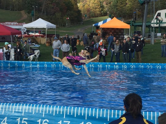 Lexi, a yellow lab jumps into a pool to record a distance