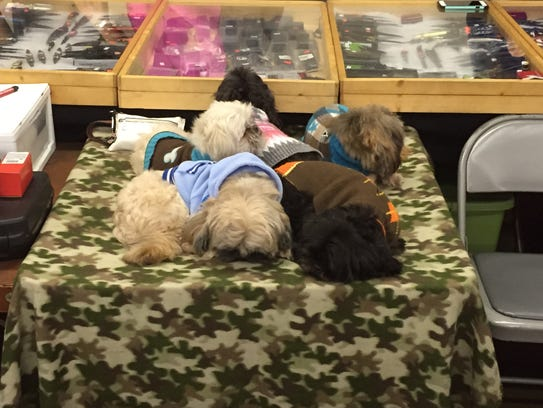 Five shih tzus doze Saturday afternoon at the Heritage