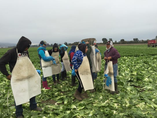 Taylor Farms contracts farm workers for the fall harvest