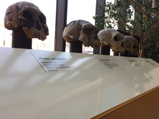 Replicas of skulls from of human ancestors are on display
