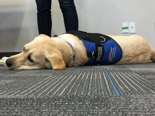 Lacey, a 10-month-old service dog in training, lays